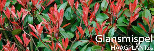 Photinia haag planten kopen
