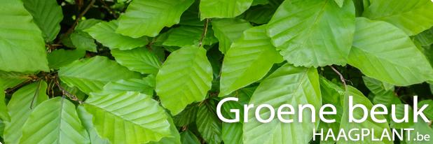 Groene beuk planten kopen
