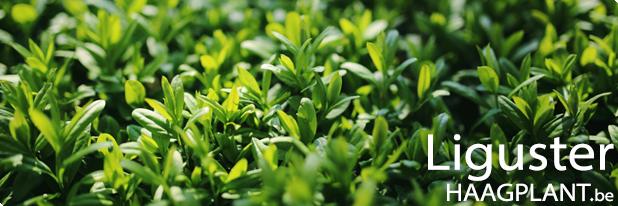 Ligustrum planten kopen voor ligusterhaag