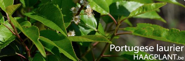prunus lusitanica angustifolia planten kopen voor haag