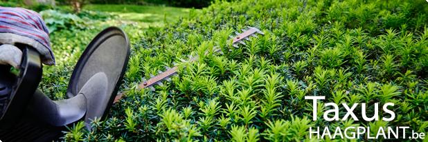 Taxus baccata als haagplant kopen