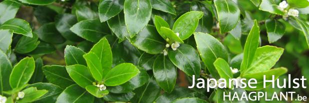 Japanse hulst planten als lage wintergroene haag